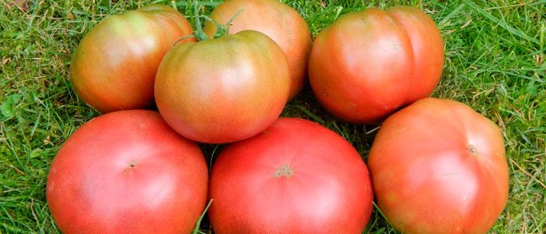Томат Бизон желтый характеристика и описание сорта отзывы садоводов с фото