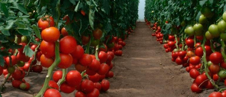 Томат Бобкат F1 характеристика и описание сорта высота куста и урожайность особенности выращивания как растить рассаду
