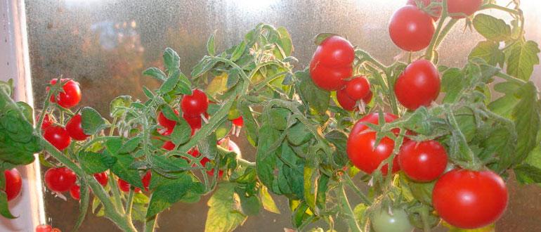 Помидор балконное чудо как выращивать