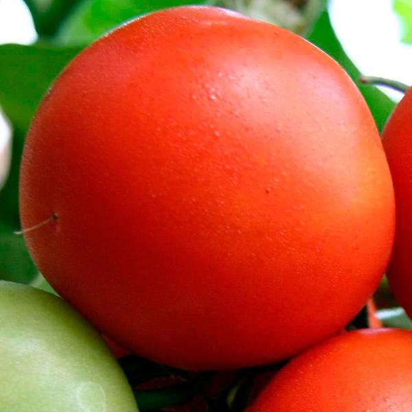 Томат Белый налив характеристика и описание сорта выращивание и урожайность
