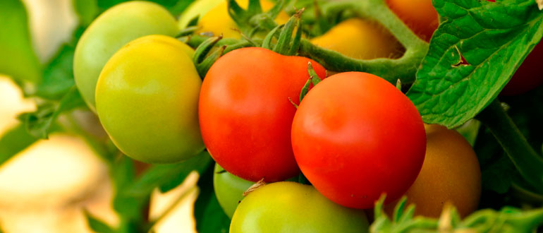 Томат Дубрава описание и характеристика сорта помидор плюсы и минусы