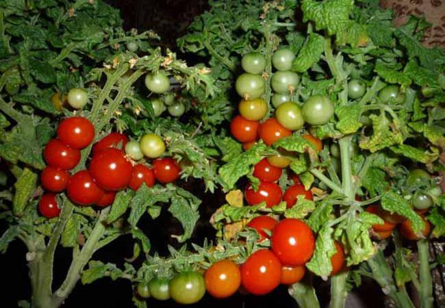 Томаты Какие можно выращивать на подоконнике в квартире?