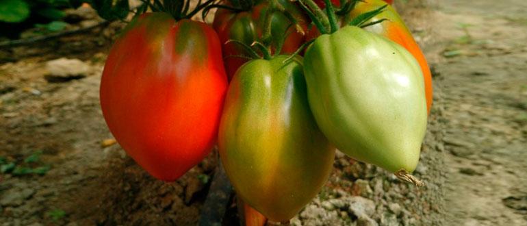 Томат Орлиное сердце описание и характеристика сорта урожайность с фото
