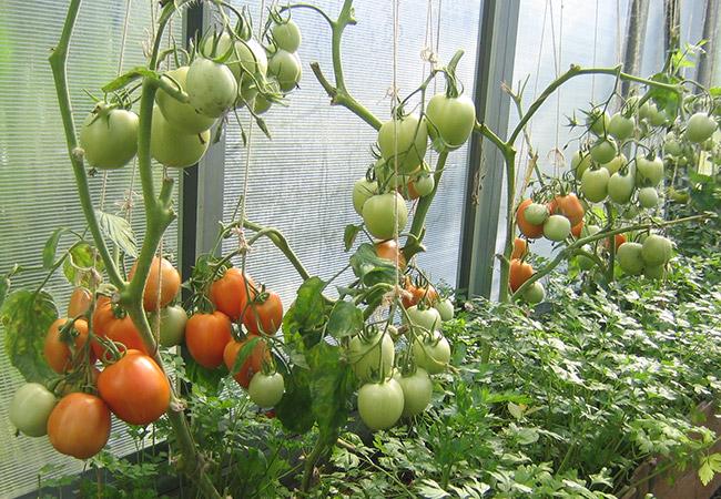 самые вкусные томаты для теплицы в подмосковье