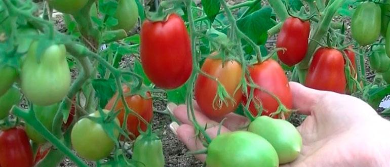 Томат Ракета - лучший низкорослый сорт для засушливых районов