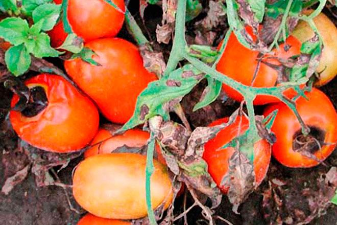 Вредители и болезни томатов в теплице