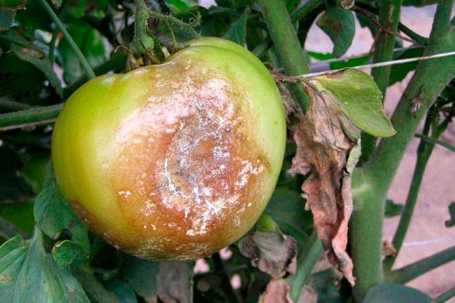 Признаки фитофторы у рассады помидор