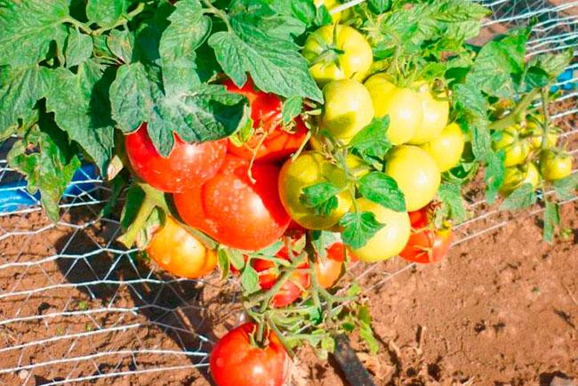 Низкорослые томаты без пасынкования для урала
