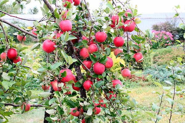 Как бороться с плодожоркой на яблонях