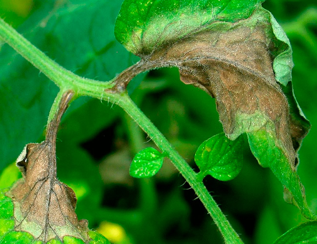 Болезни томатов рассады грибковые вирусные бактериальные