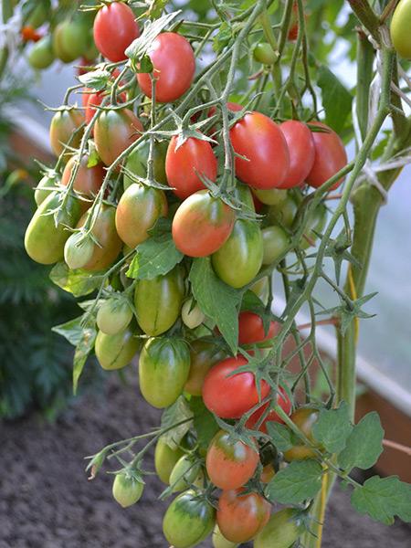 томат слот фото куста для вышивки бисером