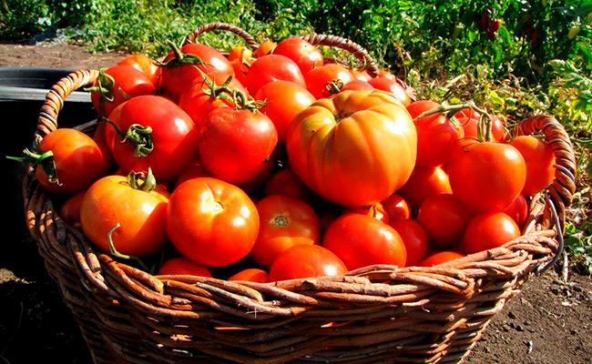 Лучшие сорта сибири томатов: посадка и уход