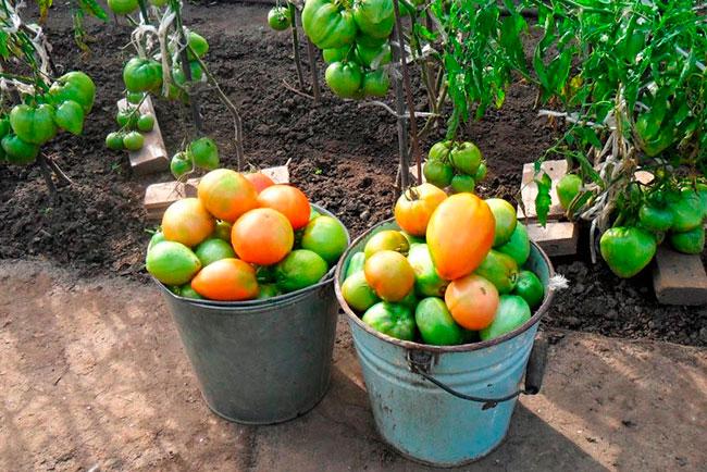 Сорта томатов для открытого грунта в сибири
