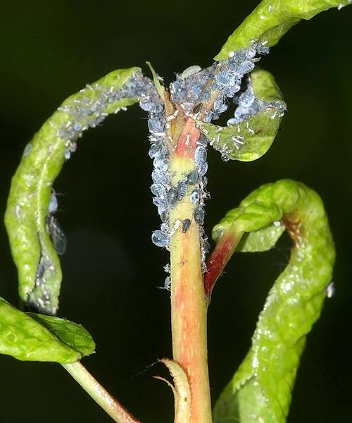Чем обработать опрыскать сливу и плоды от тли червей вредителей и болезней