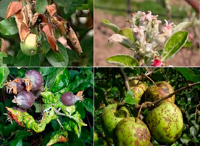 Болезни яблони. Описание с фотографиями и способы лечения