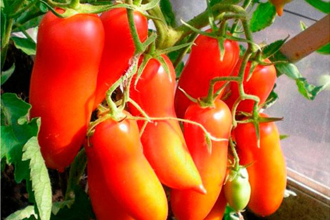 категория томат итальянские спагетти отзывы фото урожайность дети, конечно