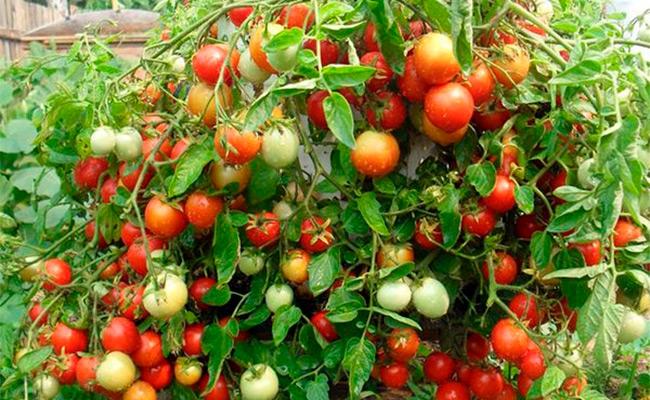 помидоры аленка описание сорта