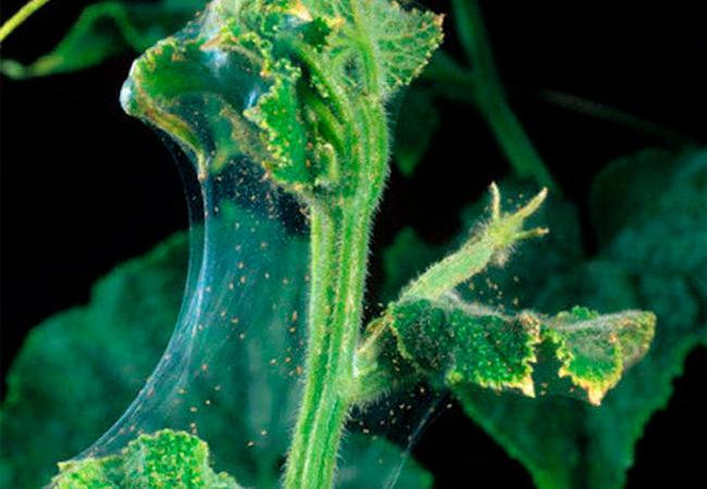 Меры борьбы с паутинным клещом на огурцах в теплице и открытом грунте