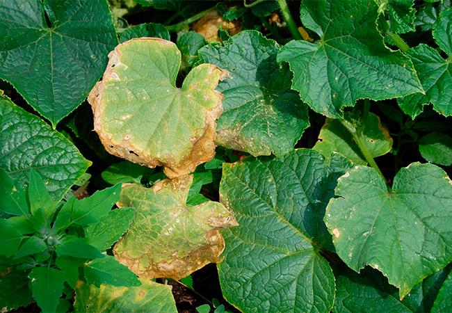 Почему желтеют листья у огурцов на подоконнике: что делать, чем лечить
