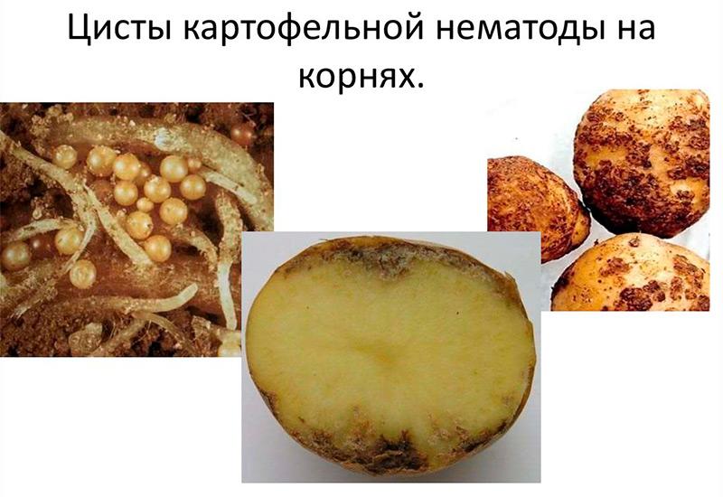 Виды картофельной нематоды в России