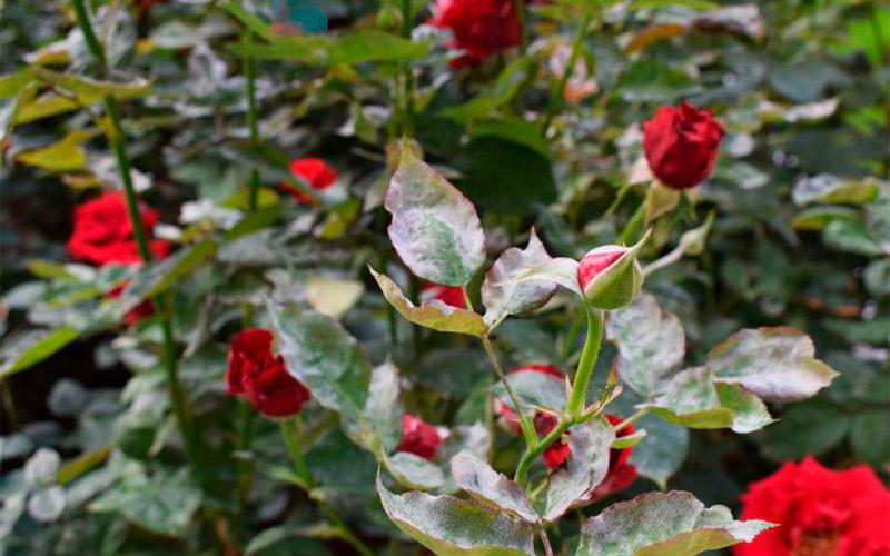 Болезнь розы симптомы и лечение фото