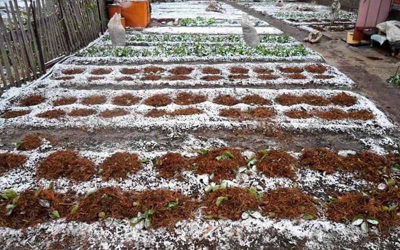 ᐉ Как подготовить клубнику к зиме в сибири