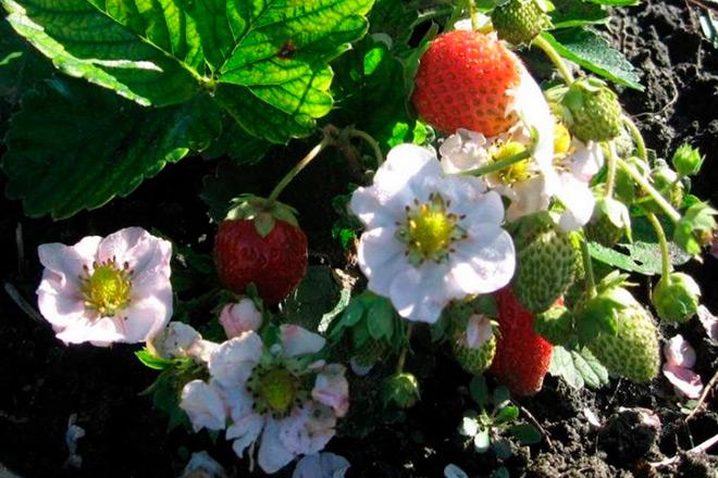 Когда и чем удобрять клубнику