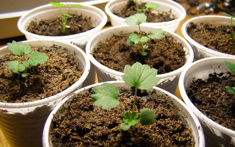 стратификация семян женьшеня в домашних условиях